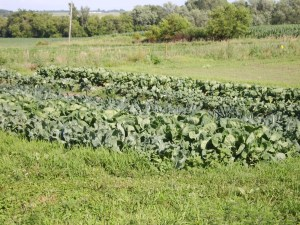 one of the fields on the Small Potatoes Farm
