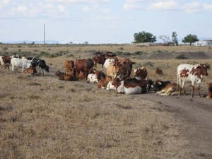 Exhausted cattle waiting to access a dam (background)