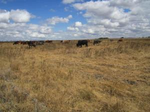 Localized coping strategies increasingly gain in importance: Here, cattle which has accessed a fenced area where grass is preserved for stressful times.