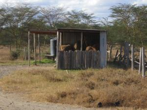 Producing and storing hay for dry seasons as a way to avoid or postpone migration.