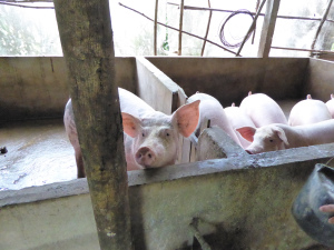 Pigs for bio gas and food